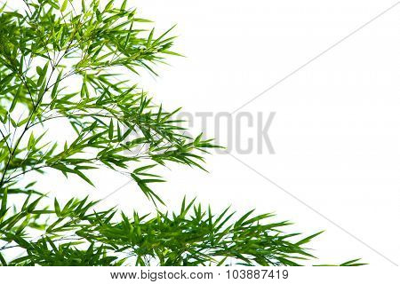 Young green bamboo leaves, isolated on white. Sot with depth of field.