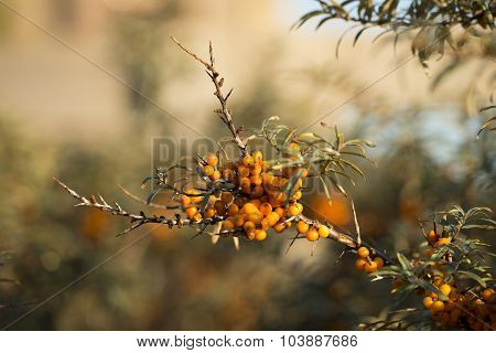 Common Sea-buckthorn