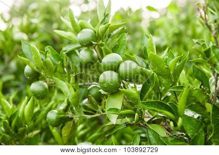 Green Fruits And Leafs Of The Tangerine Tree