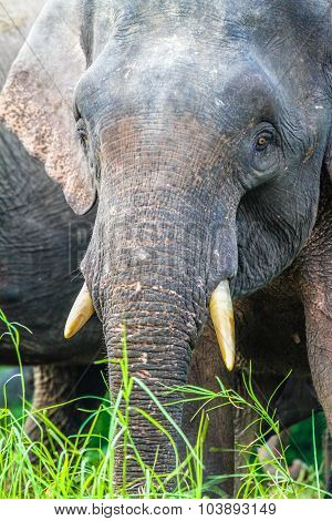 Elephant Closeup In The Jungle-borneo, Malaysia