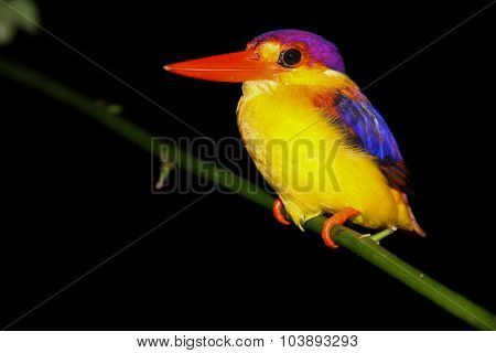 Colorful Kingfisher In The Dark-borneo,malaysia