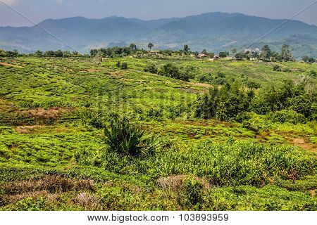 Tea Plantation With View Of Mountains-malaysia