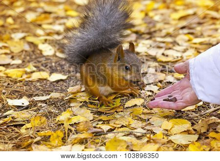 Squirrel Eats Pine Nuts With Hands In The Autumn