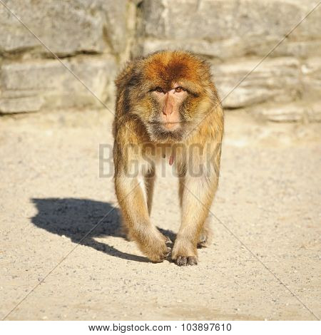 Portrait Of An Adult  Barbary Macaque Female