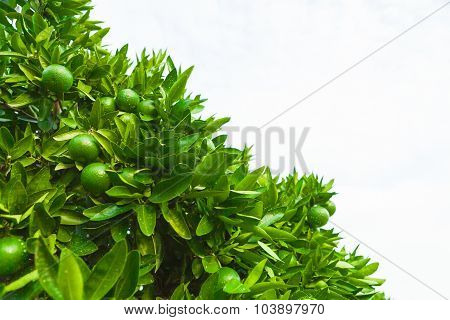 Green Fruits And Leafs Of A Tangerine Tree - Outdoors Shoot