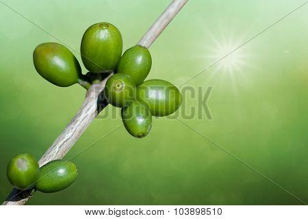 Unripe Coffee Beans