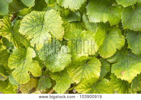 Closeup of Gewurtztraminer Grape Leaves