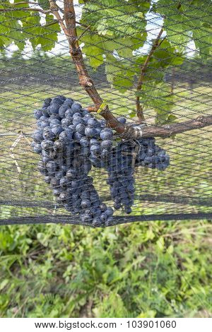 Cabernet Red Wine Grapes Hanging on the Vine in a Vineyard