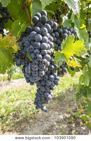 Cabernet Red Wine Grape in a Vineyard