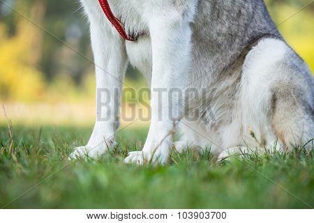 Paws of Siberian Husky.