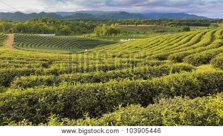 Green Tea plantation over hill