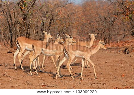 A group of impala antelopes (Aepyceros melampus), Kruger National Park, South Africa