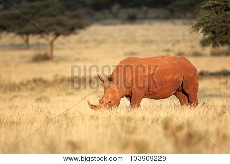 A white rhinoceros (Ceratotherium simum) in natural habitat, South Africa