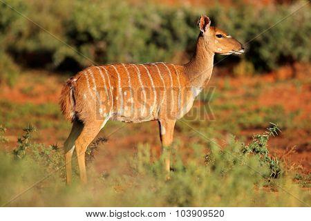 Female Nyala antelope (Tragelaphus angasii) in natural habitat, Mokala National Park, South Africa