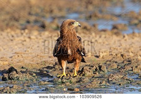 Yellow-billed kite (Milvus aegyptius) at a waterhole, Kalahari desert, South Africa