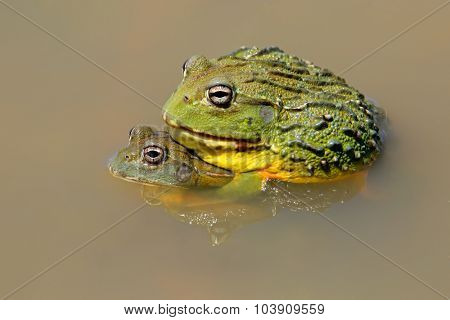 A pair of African giant bullfrogs (Pyxicephalus adspersus) mating, South Africa