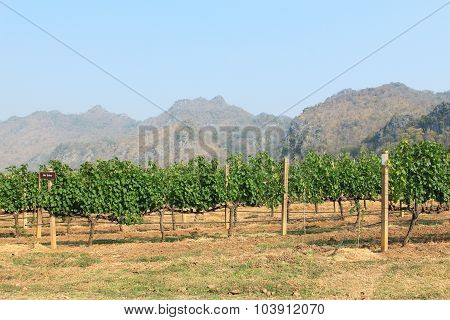 Grape Bunch On The Vine