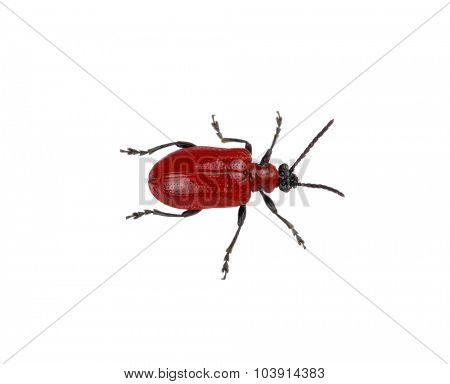 red beetle on a white background