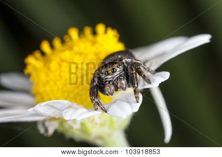 spider jumper