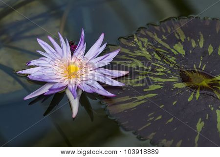 Violet Water Lily (Nymphaea Aquarius) with Leaf to the Side