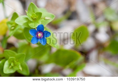 Blue Anagallis Arvensis Or Scarlet Pimpernel  Flower