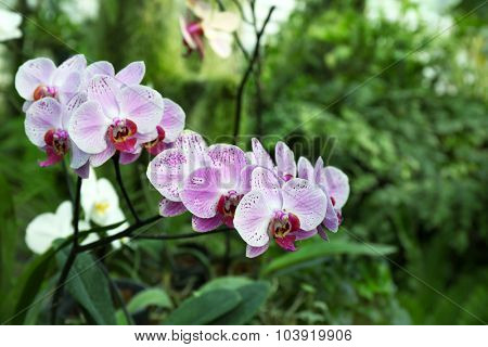 Colorful fully grown orchids in greenhouse