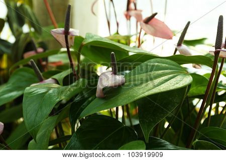 Anthurium flowers  on green background