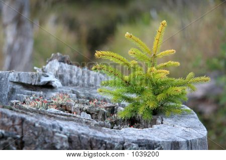 Seedling In A Stump
