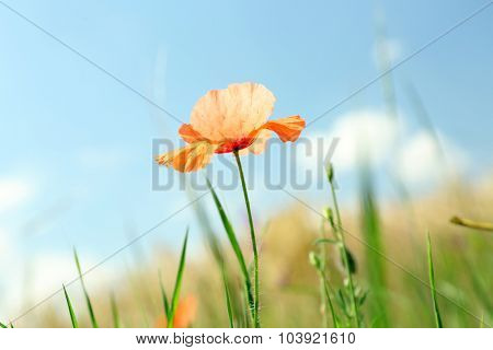 Beautiful small poppy on blue sky background
