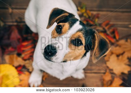 Jack Russell sits and looks into the camera