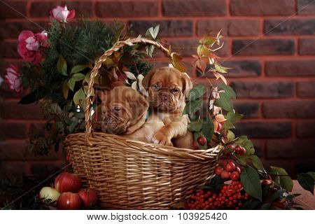 Group Bordeaux Puppy Dog Sitting In A Basket. Autumn Portrait