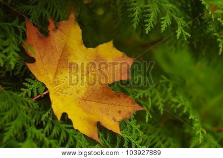 Maple leaf on the thuja