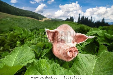Cute Pig Grazing At Summer Meadow At Mountains Pasturage Under Blue Sky. Organic Agriculture Natural