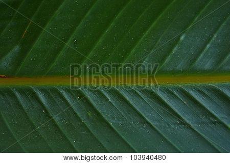 Strelitzia reginae leaf