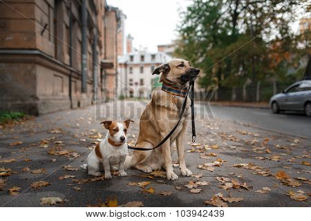 Mixed Breed Dog  And Jack Russell Terrier