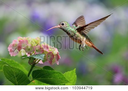 Ruby-throated Hummingbird Hovering On Hydrangea