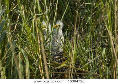 Yellow-billed Egret chicks