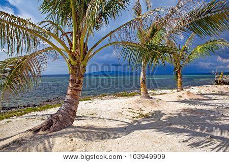 Dwarf Coconut Trees