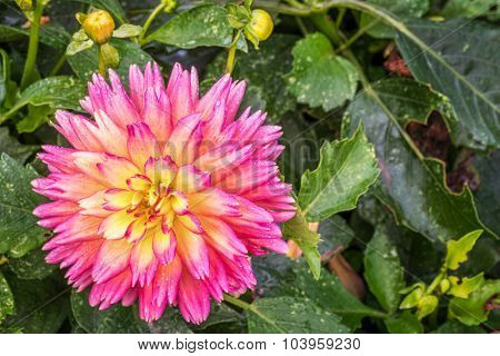 sunset dahlia flower with water drop[let in a garden