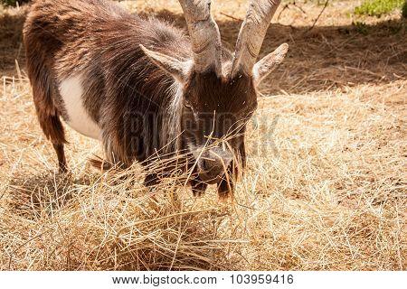Closeup of Brown Goat Eating Hay