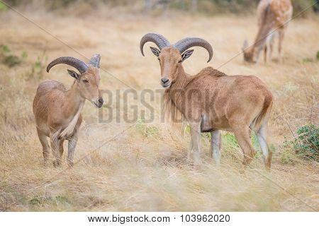 Aoudad Ram And Ewe