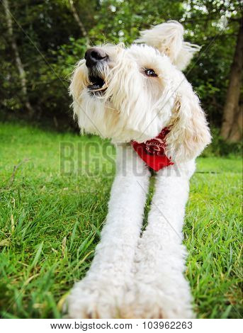 a golden doodle stretching in a park with a red bandanna on in green grass and bushes