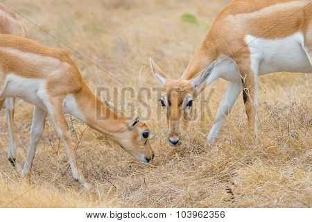 Antelope Baby And Mother