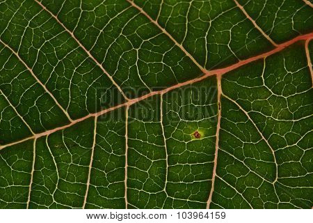 Green Leaf Texture Background Of Poinsettia Christmas Tree