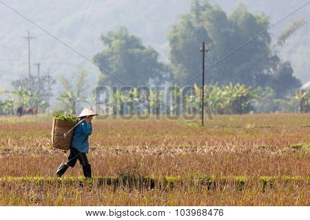 MAI CHAU, VIETNAM, DECEMBER 20, 2014 : A farmer is carrying a basket of fodder in the harvested rice field in the village of Mai Chau, Vietnam.