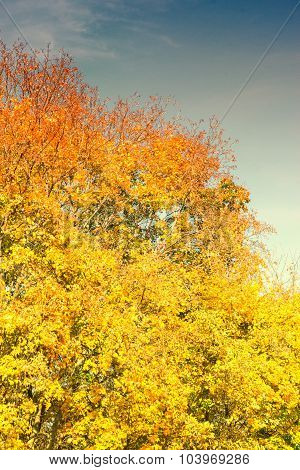 Bright Yellow Autumnal Trees