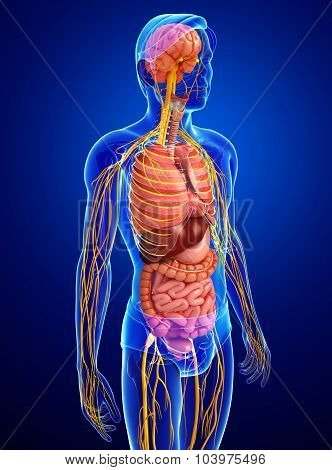 Male Body Of Nervous And Digestive System Artwork
