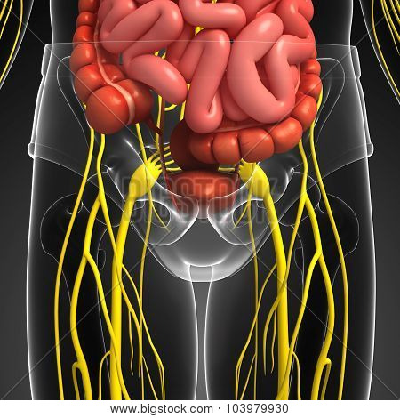 Human Pelvic Girdle Nervous And Digestive System Artwork