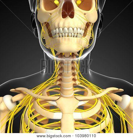 Nervous System And Male Neck Skeleton Artwork
