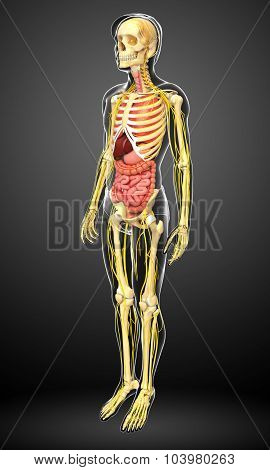Human Skeleton With Nervous And Digestive System Artwork